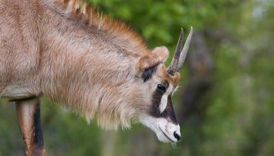 What Kinds of Antelope Live in South Africa?