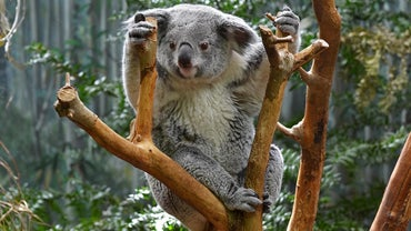 Do Koalas Have a Tail?