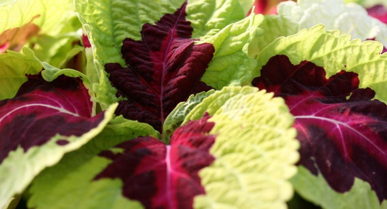 What Is a Kong Coleus?