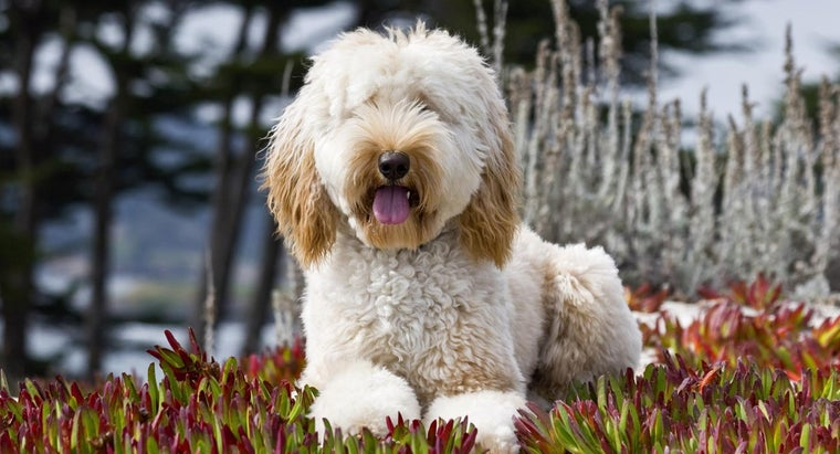 Are Labradoodles Hypallergenic?