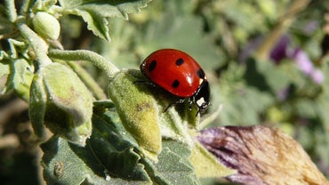 What Does a Ladybug Symbolize?
