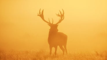 What Is a Large Deer Called?
