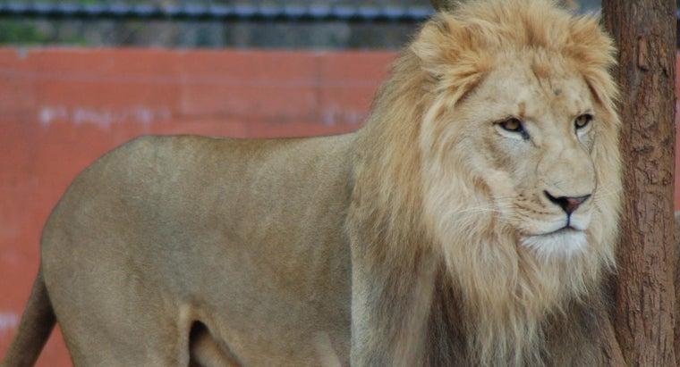 What Is Larger: a Lion or a Tiger?