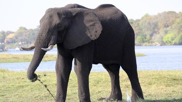 What Is the Largest Animal on Land?
