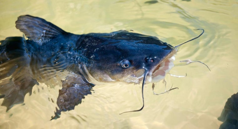 What Is the Largest Catfish Ever Caught?