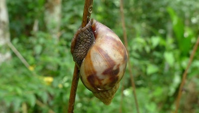 What Is the Largest Snail in the World?