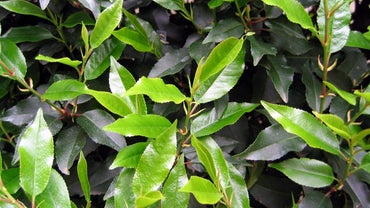 Are Laurel Leaves Poisonous?