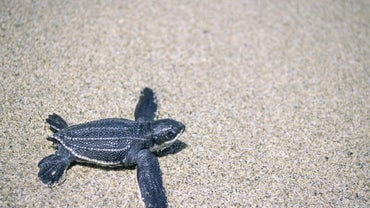What Do Leatherback Turtles Eat?