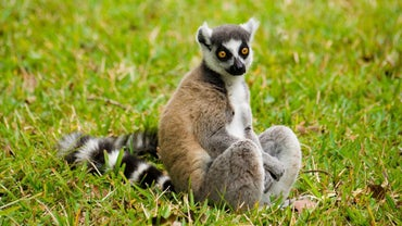 What Is a Lemur's Habitat?