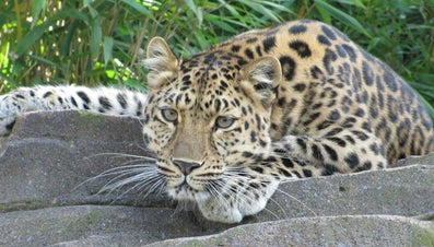 What Do Leopards Eat?