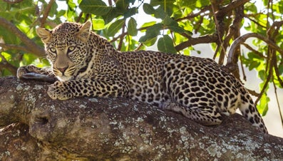 Why Are Leopards Endangered?