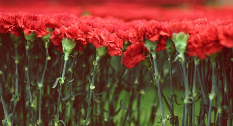 What Is the Life Span of a Carnation?