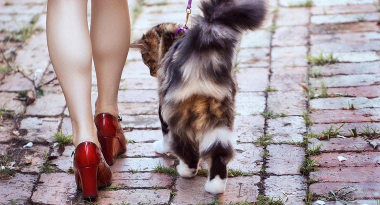 What Is the Life Span of a Maine Coon?