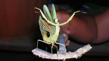 What Is the Life Span of a Praying Mantis?