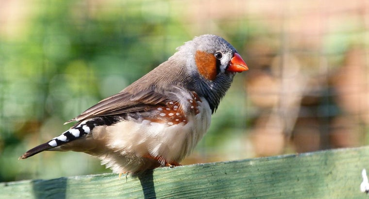 What Is the Life Span of the Zebra Finch?