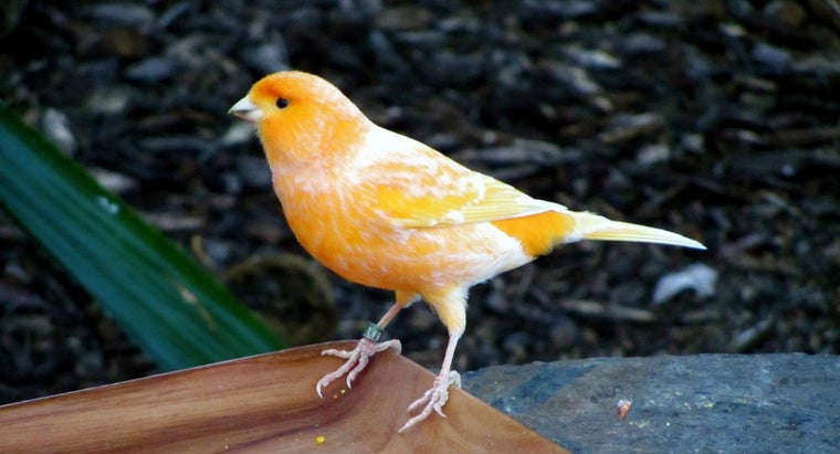 What Is the Lifespan of a Canary?