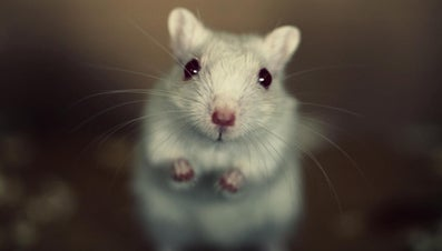 What Is the Lifespan of a Gerbil?