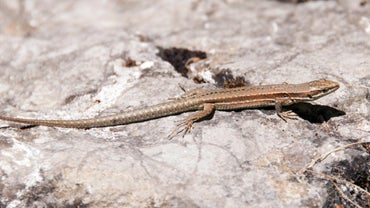 What Is the Lifespan of a Wall Lizard?