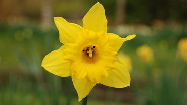 How and When Do You Lift Daffodil Bulbs?