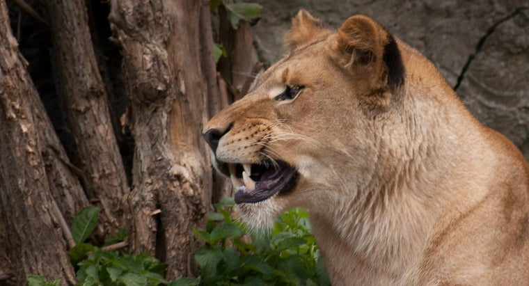 What Are the Lion's Enemies?