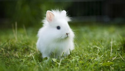 What Is a Lionhead Bunny?