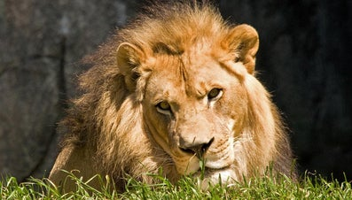 Do Lions Live in Caves?