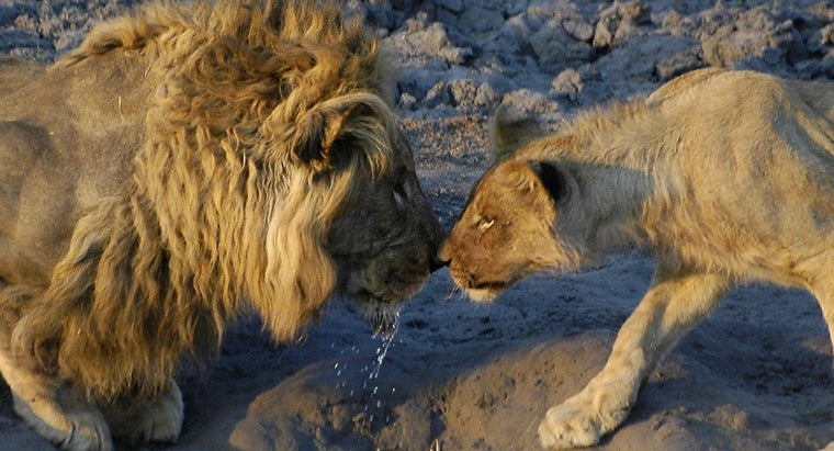 How Do Lions Mate?