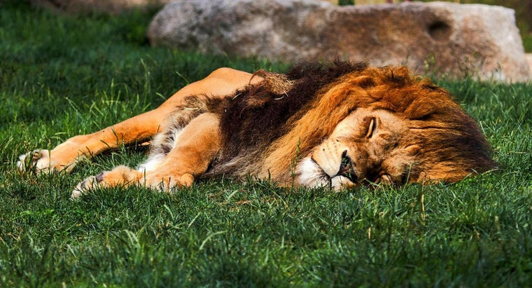 Where Do Lions Sleep?