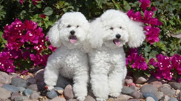 What Is a List of Hypoallergenic Dog Breeds?
