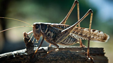 What Do Locusts Eat?