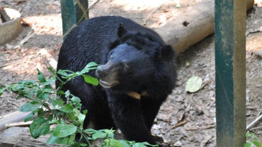 How Long Does a Black Bear Live?