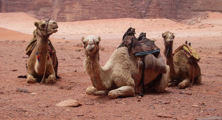 How Long Do Camels Live?