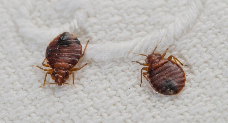 How Long Can Bed Bugs Survive in a Mattress?