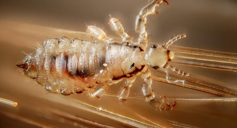 How Long Can Head Lice Live Without a Host?