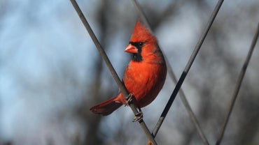 How Long Do Cardinals Live?