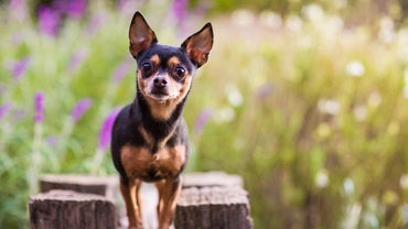 How Long Do Chihuahuas Live?