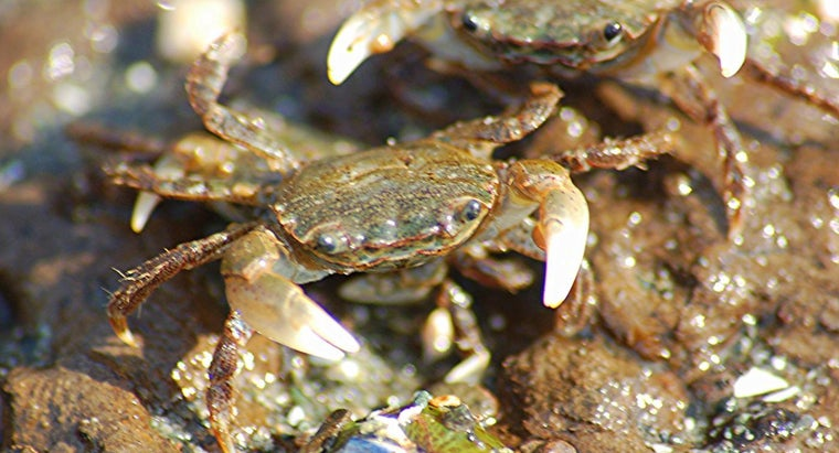 How Long Do Crabs Live?