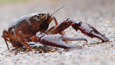 How Long Do Crayfish Live?