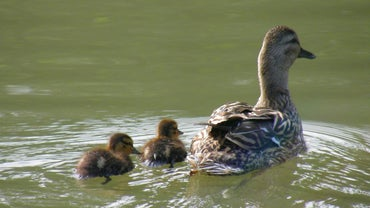 How Long Do Ducklings Stay With Their Mother?