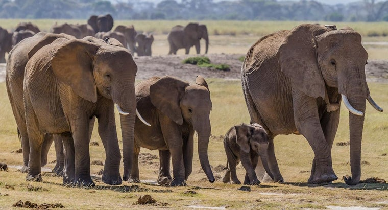How Long Is an Elephant Pregnant For?