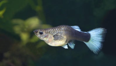 How Long Does a Fish Stay Pregnant?