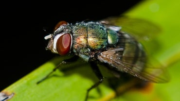 How Long Does a Fly Live?