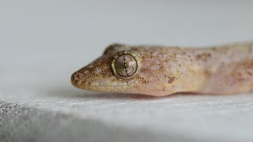 How Long Do Geckos Live?