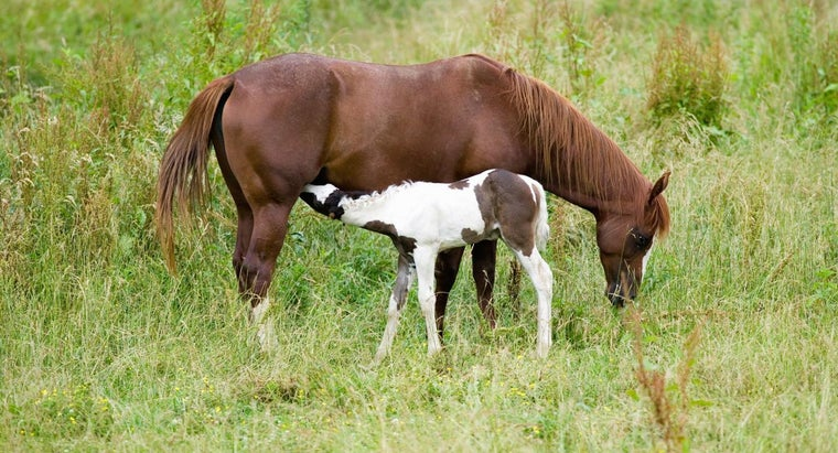 How Long Is the Gestation Period in Horses?