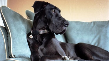 How Long Do Great Danes Live?
