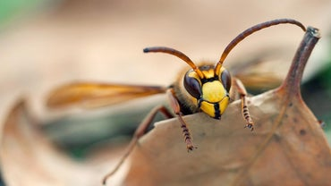 How Long Do Hornets Live?