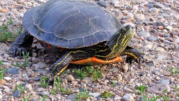 How Long Do Painted Turtles Live?