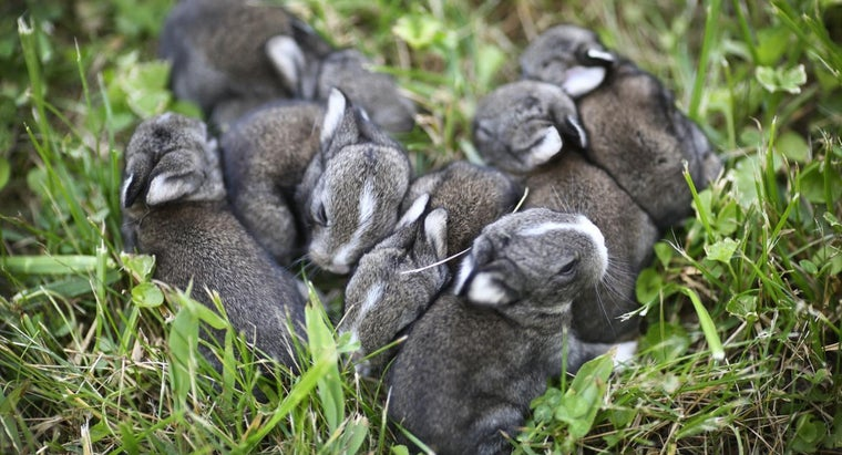 How Long Is a Rabbit's Pregnancy?
