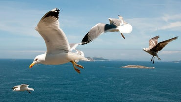 How Long Do Seagulls Live For?