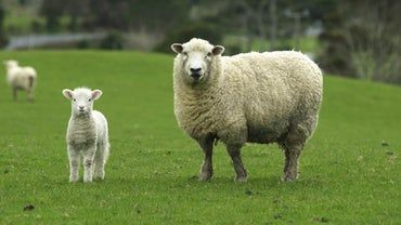 How Long Is a Sheep Pregnant?